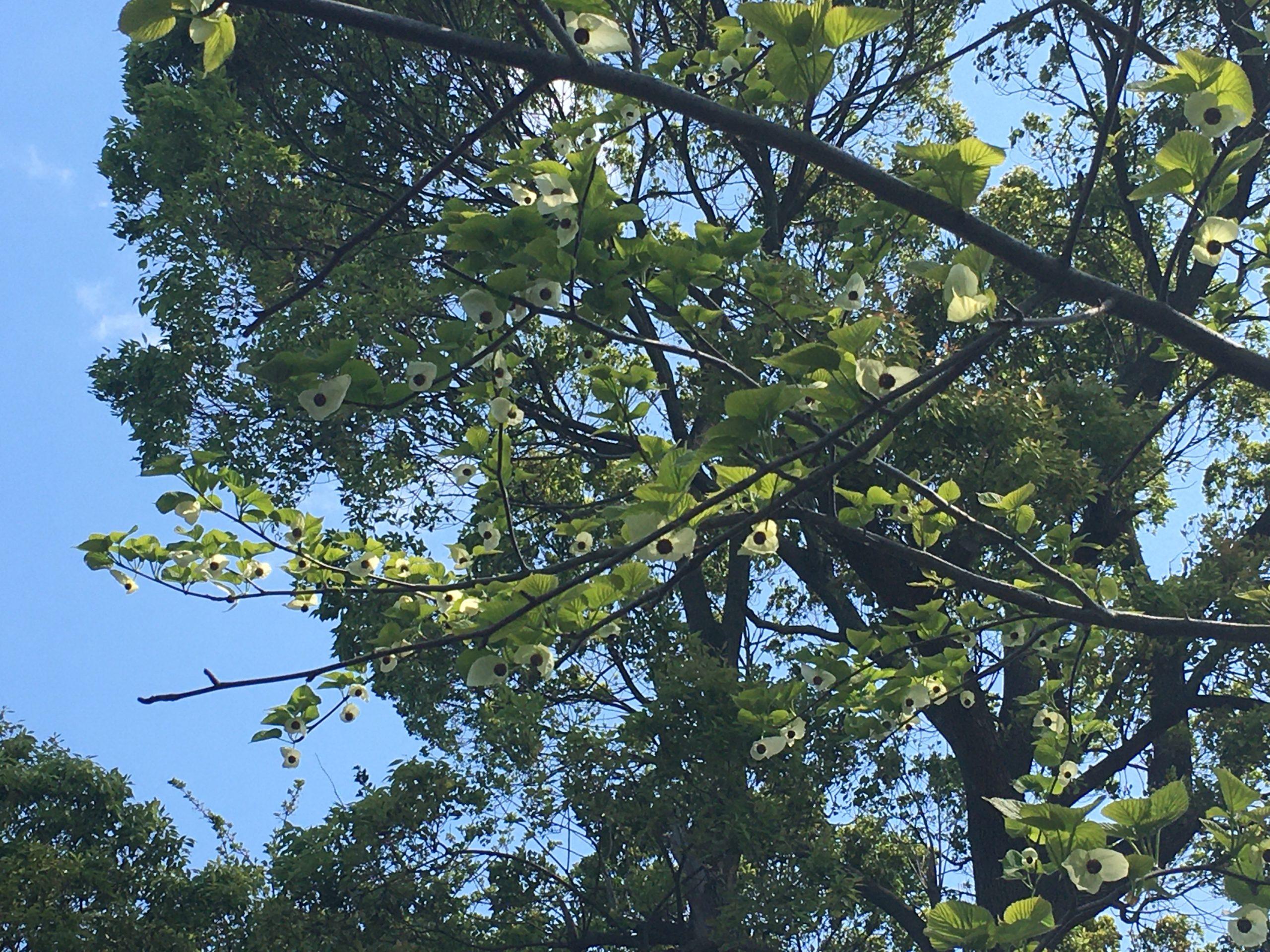 ハンカチの木の投稿写真
