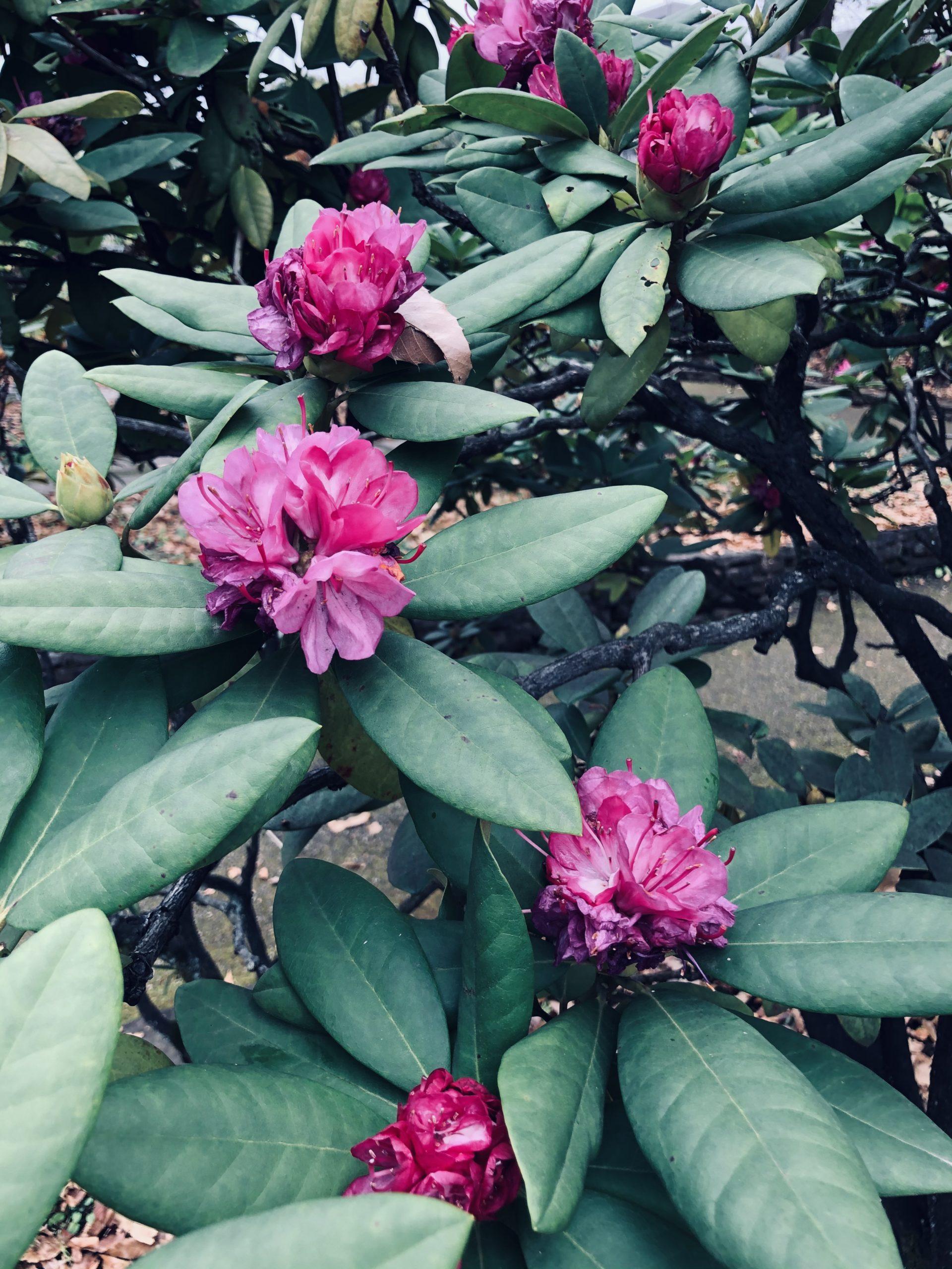 今でも咲いてます シャクナゲの投稿写真