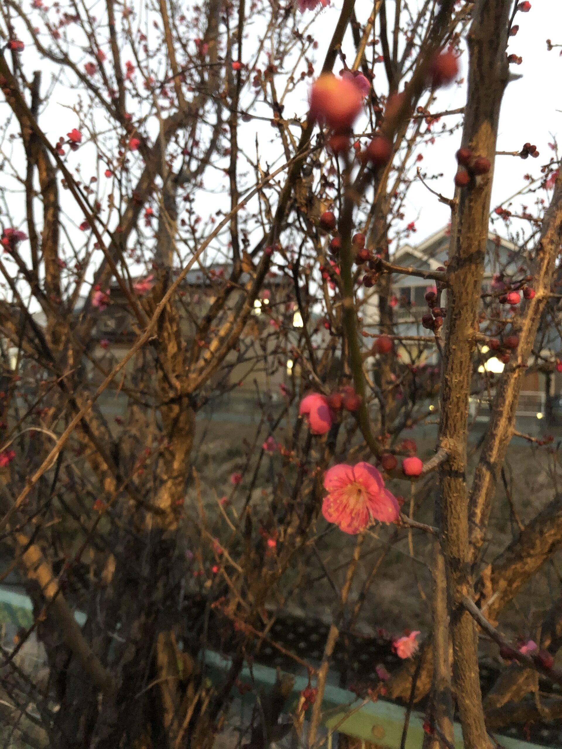梅 紅梅の投稿写真