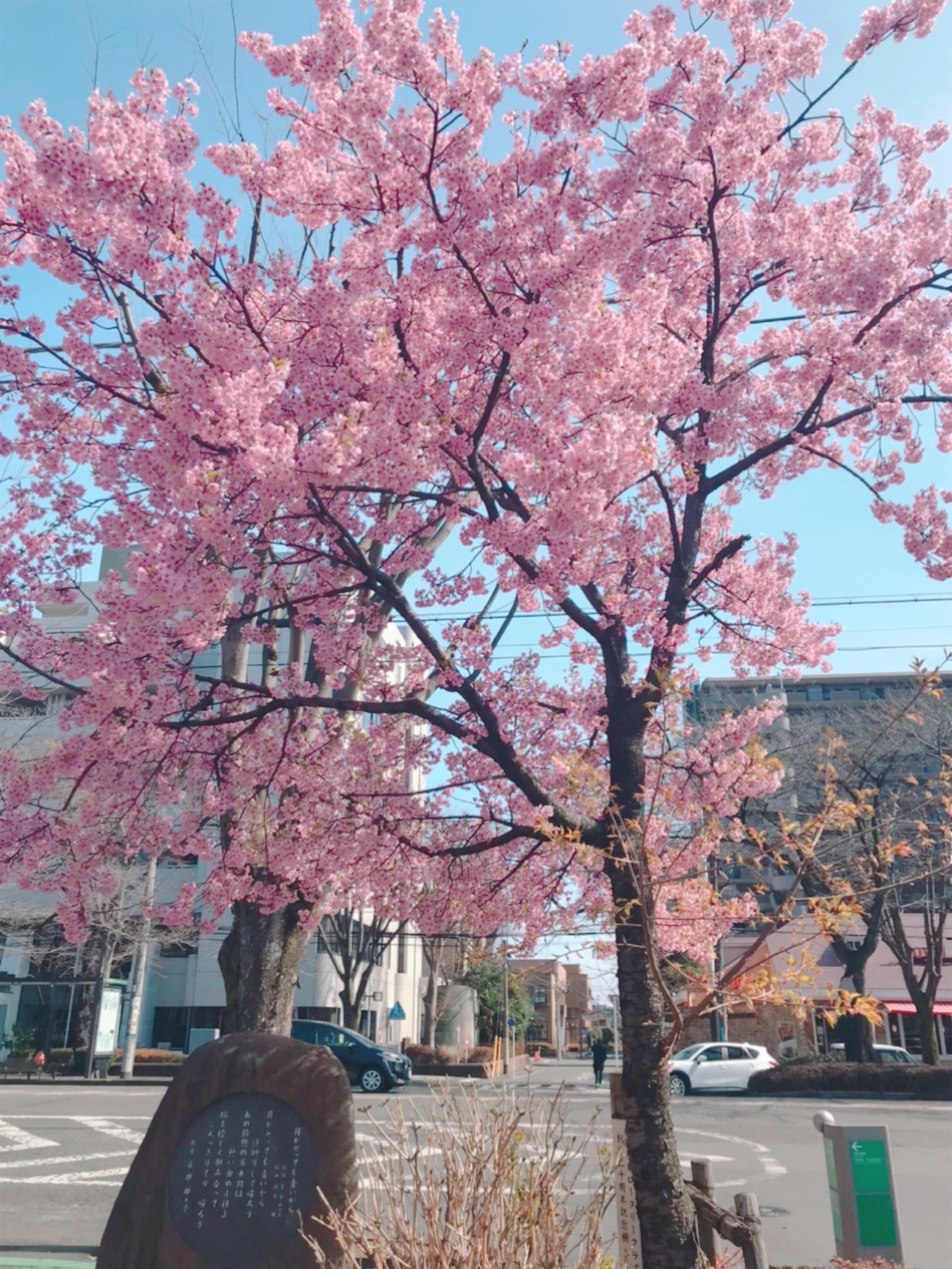手前は葉桜になってきてたの投稿写真