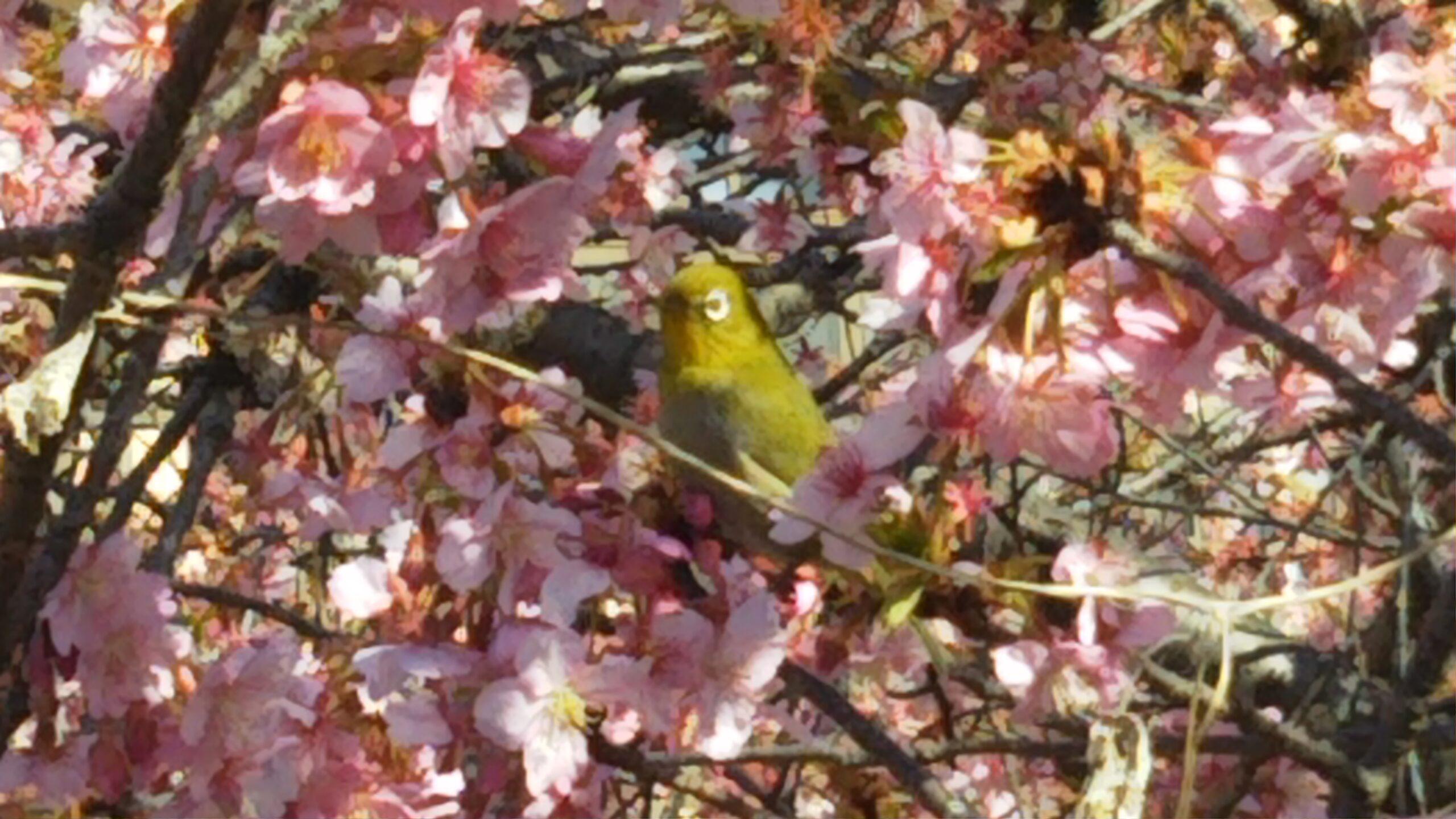 河津桜とメジロの投稿写真