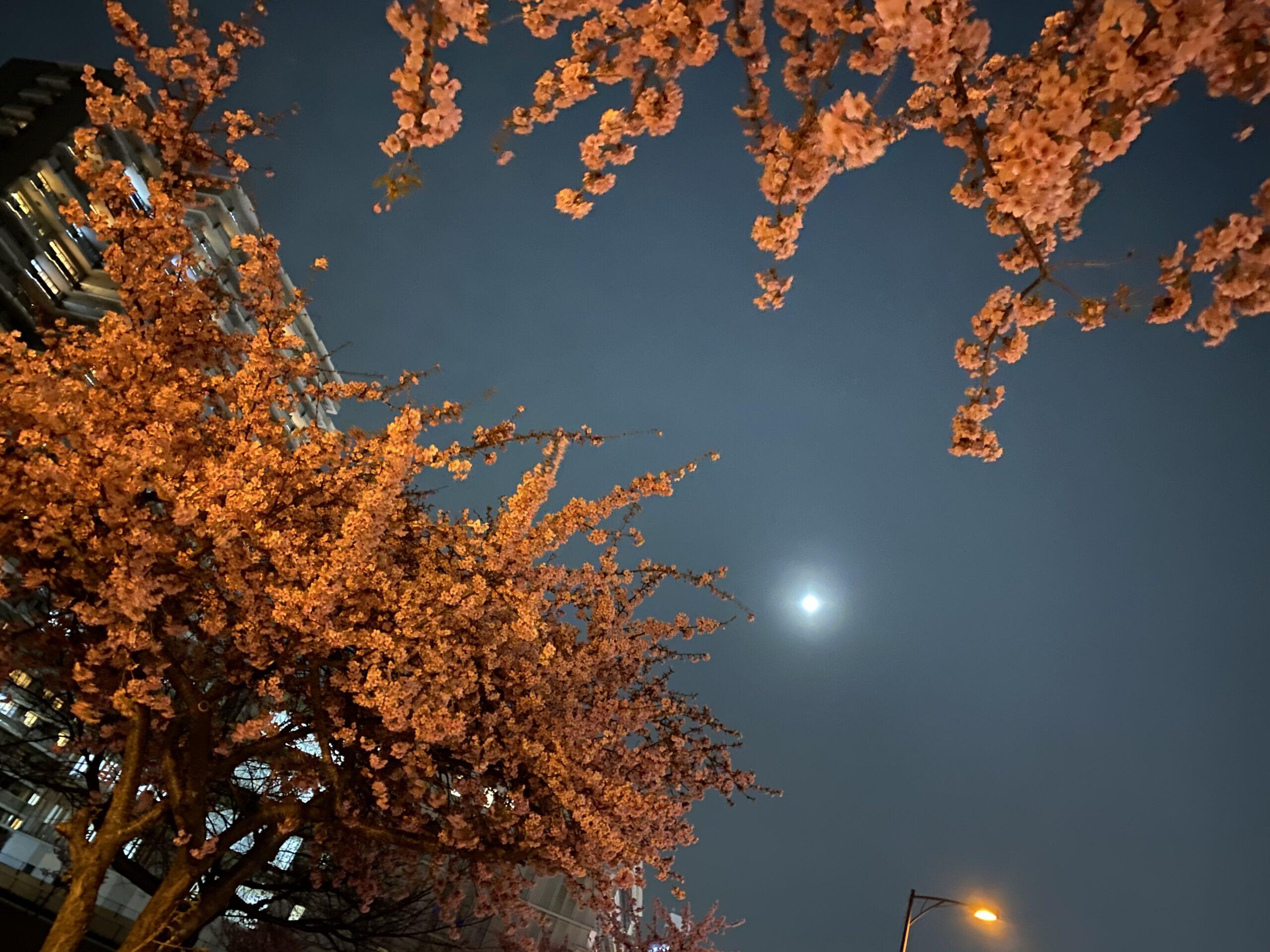 夜桜月夜の投稿写真