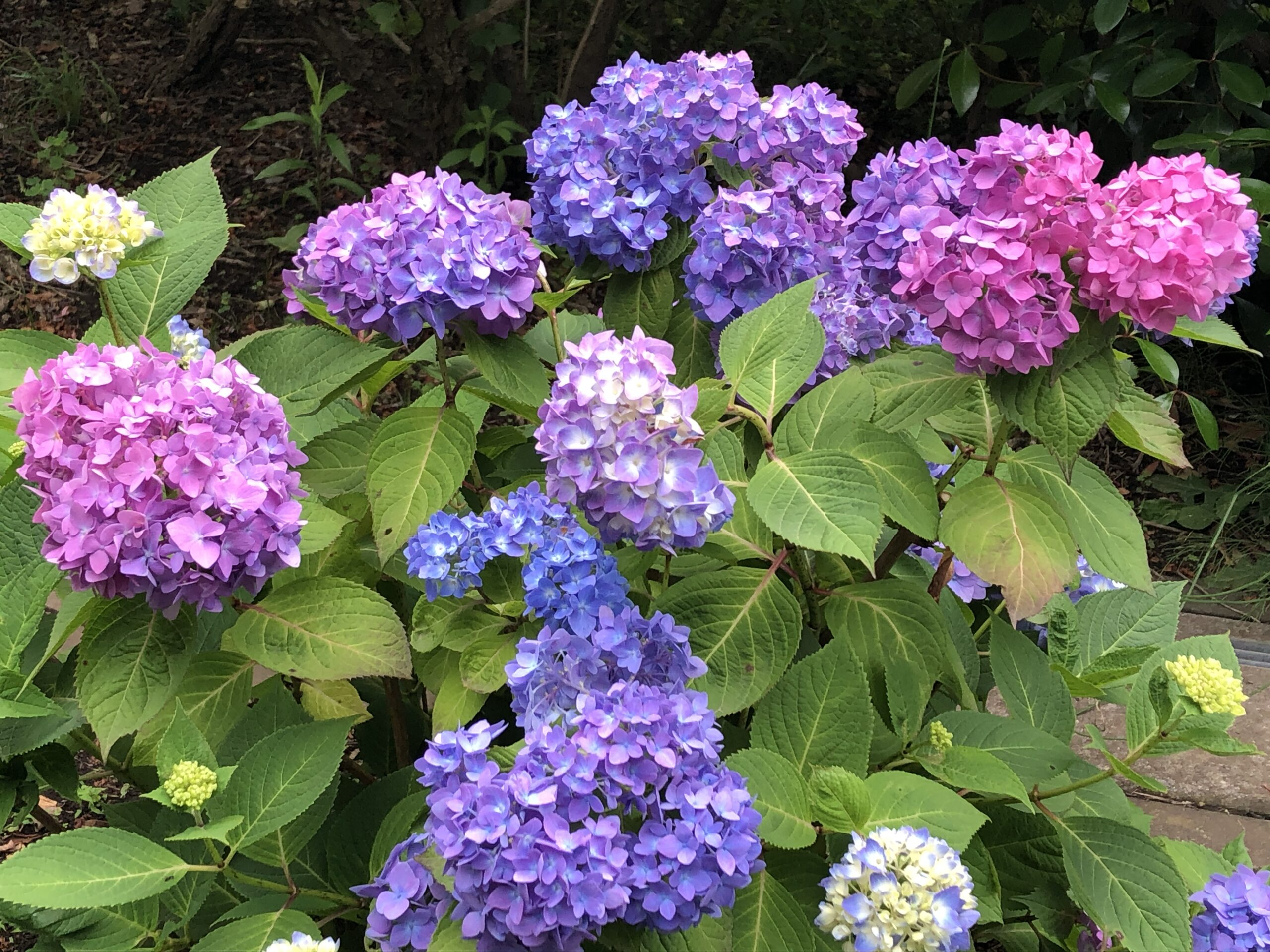 紫陽花のグラデーションが綺麗〜!の投稿写真