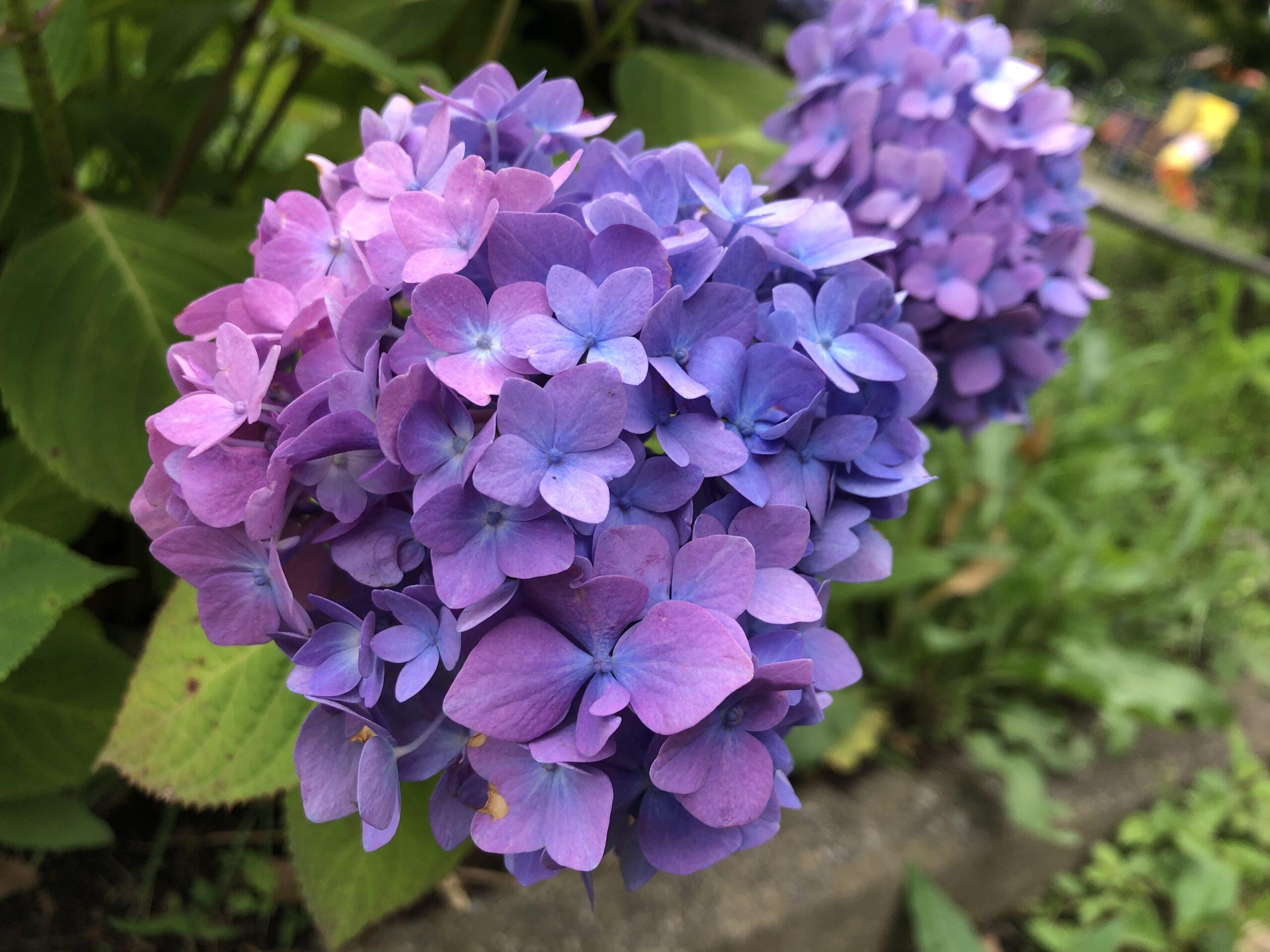 紫陽花、素敵でした❁︎の投稿写真