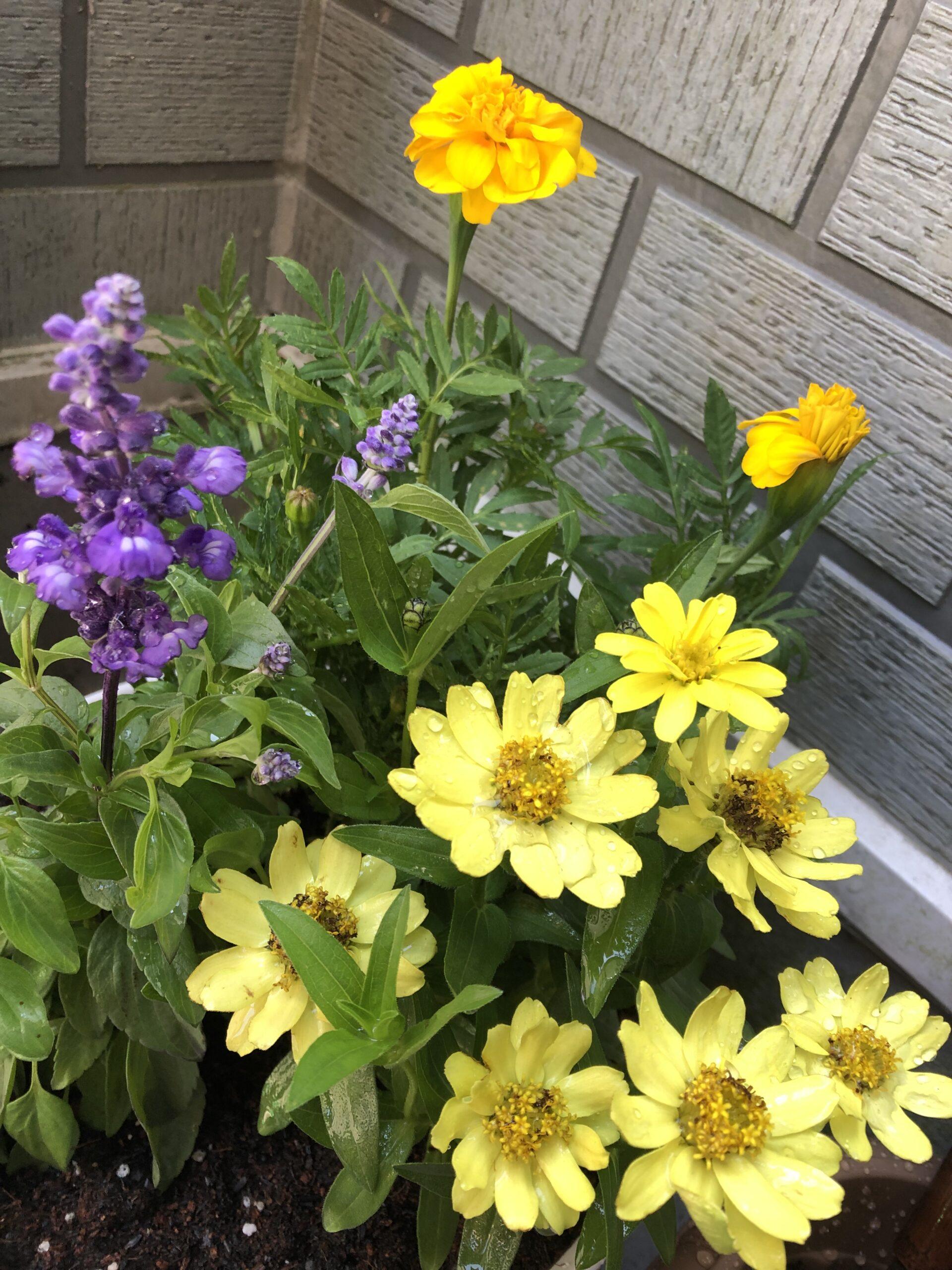 麻溝公園で購入した花を育てます❁⃘の投稿写真