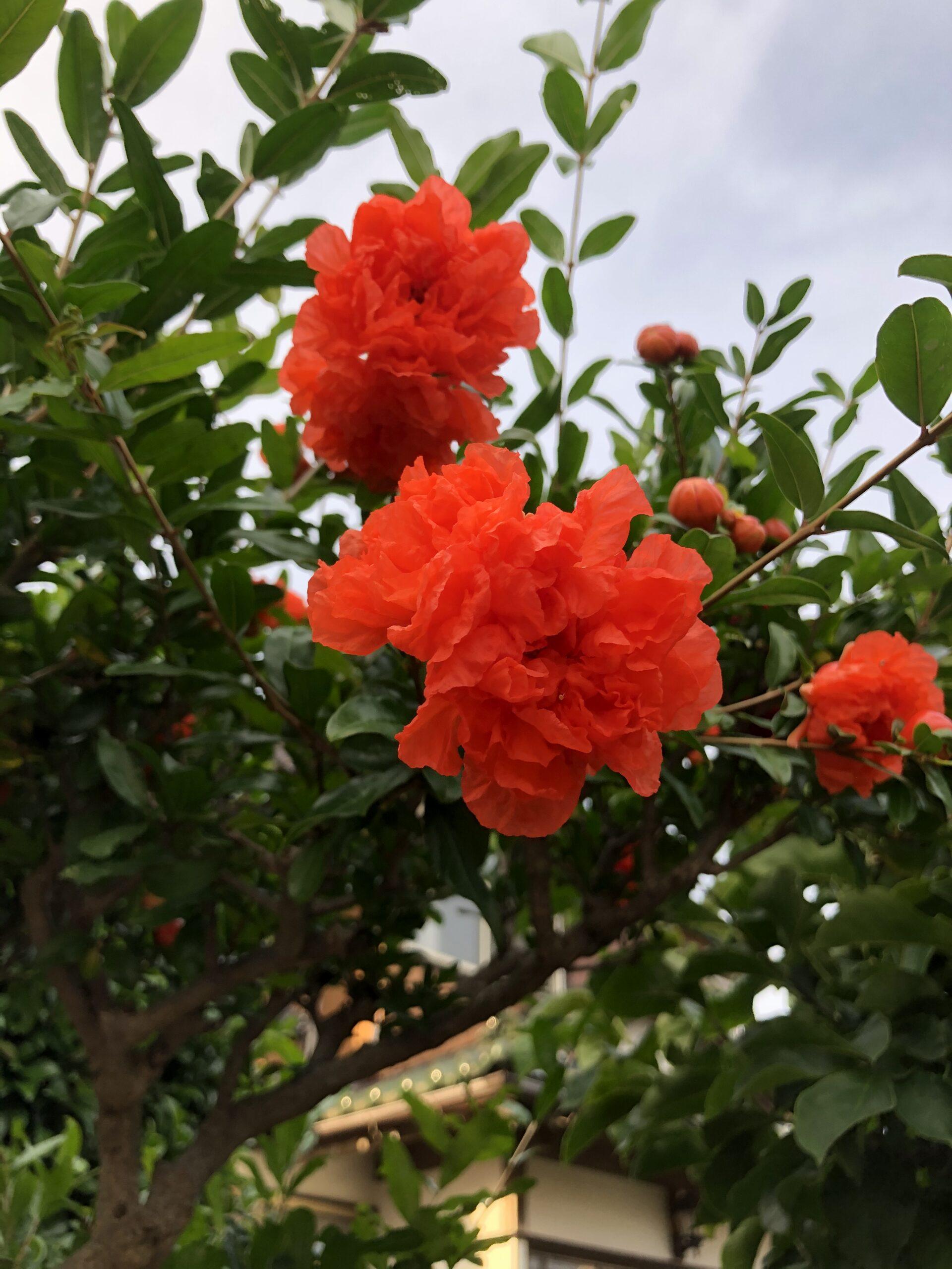 ザクロの八重の花の投稿写真