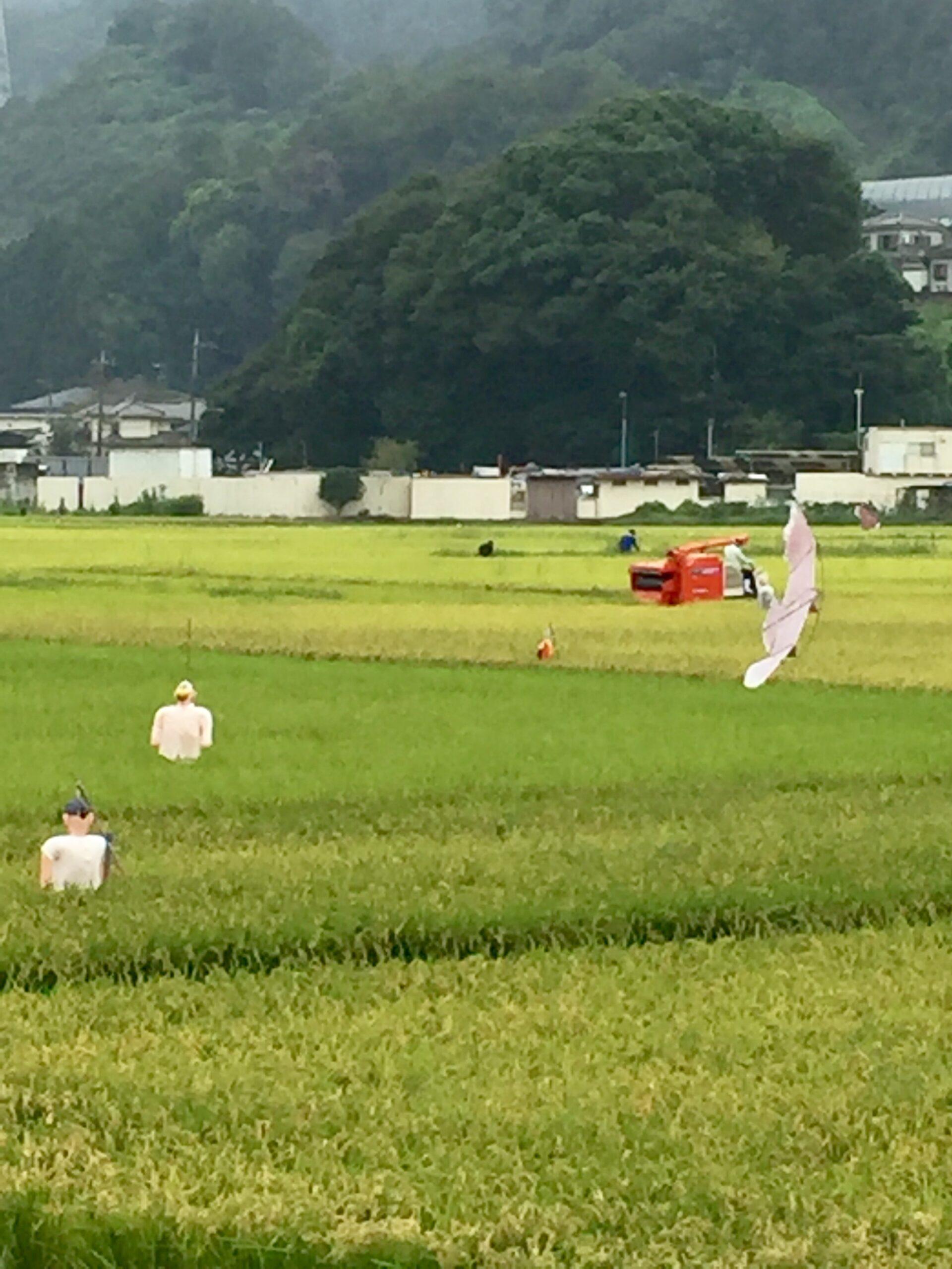 稲刈りの投稿写真